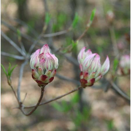 LAMINATED POSTER Spring Flower Wild Laurel Buds Mountain Poster Print 24 x (Laurel Mountain Spring)