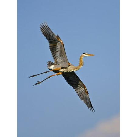 Florida, Venice, Great Blue Heron Flying Wings Wide Blue Sky Print Wall Art By Bernard Friel