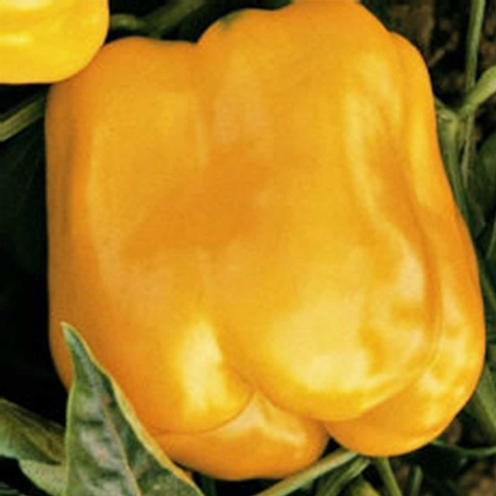 Golden Cal Wonder - Sweet Pepper Garden Seeds - 1 Lb - Non-GMO, Heirloom - California Wonder Bell Peppers - Golden Orange - Vegetable Gardening Seed
