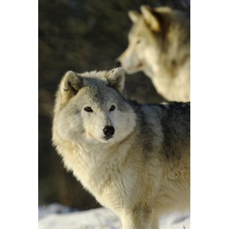 Grey Wolf (Canis Lupus) In Ecomuseum Zoo Ste-Anne-De-Bellevue Quebec Canada Stretched Canvas - Steeve Marcoux  Design Pics (12 x 18) (2015 Canada Grey Wolf)