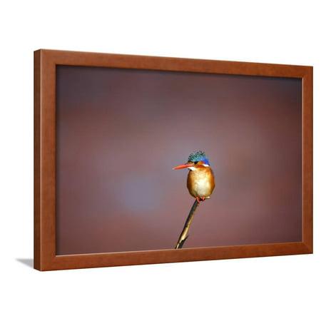 Malachite Art (Malachite Kingfisher, South Africa Framed Print Wall Art By Richard Du Toit)