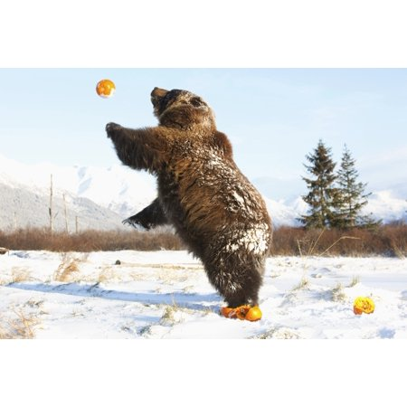 Captive Grizzly Plays With Pumpkins By Throwing Them In The Air At The Alaska Wildlife Conservation Center Southcentral Alaska During Winter Stretched Canvas - Doug Lindstrand  Design Pics (17 x 11) - Pumpkin Life Cycle