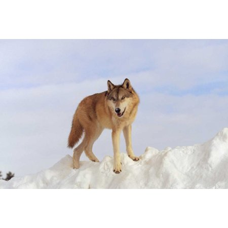 Timber Wolf Standing At The Top Of A Snow Bank Montana Poster Print By Tim Fitzharris
