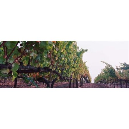 Panoramic Images PPI93025L Crops in a vineyard  Sonoma County  California  USA Poster Print by Panoramic Images - 36 x 12 - image 1 of 1