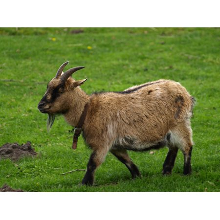 Laminated Poster Goat Horns Brown Animal Billy Goat Domestic Goat Poster Print 24 x 36