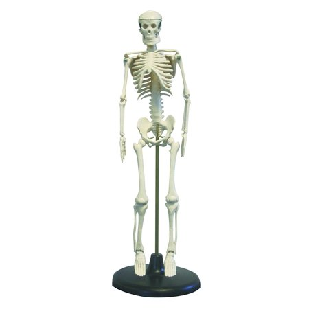 "Vision Scientific Desktop Skeleton  17"" (43cm)"