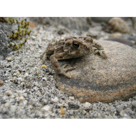 Sand Frog - Canvas Print Toad Sand Camouflage Wildlife Amphibian Bc Frog Stretched Canvas 10 x 14
