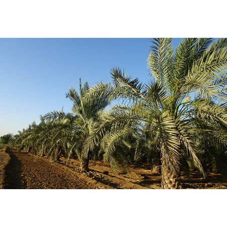Phoenix Date Palm Tree (Framed Art For Your Wall Tree Date Palm Plantation Phoenix Dactylifera 10x13 Frame )