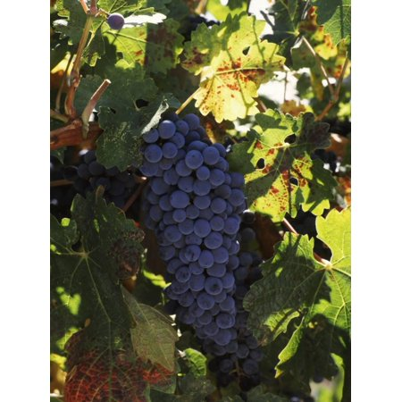 - Cabernet Sauvignon Grapes in Vineyard, Wine Country, California, USA Print Wall Art By Green Light Collection