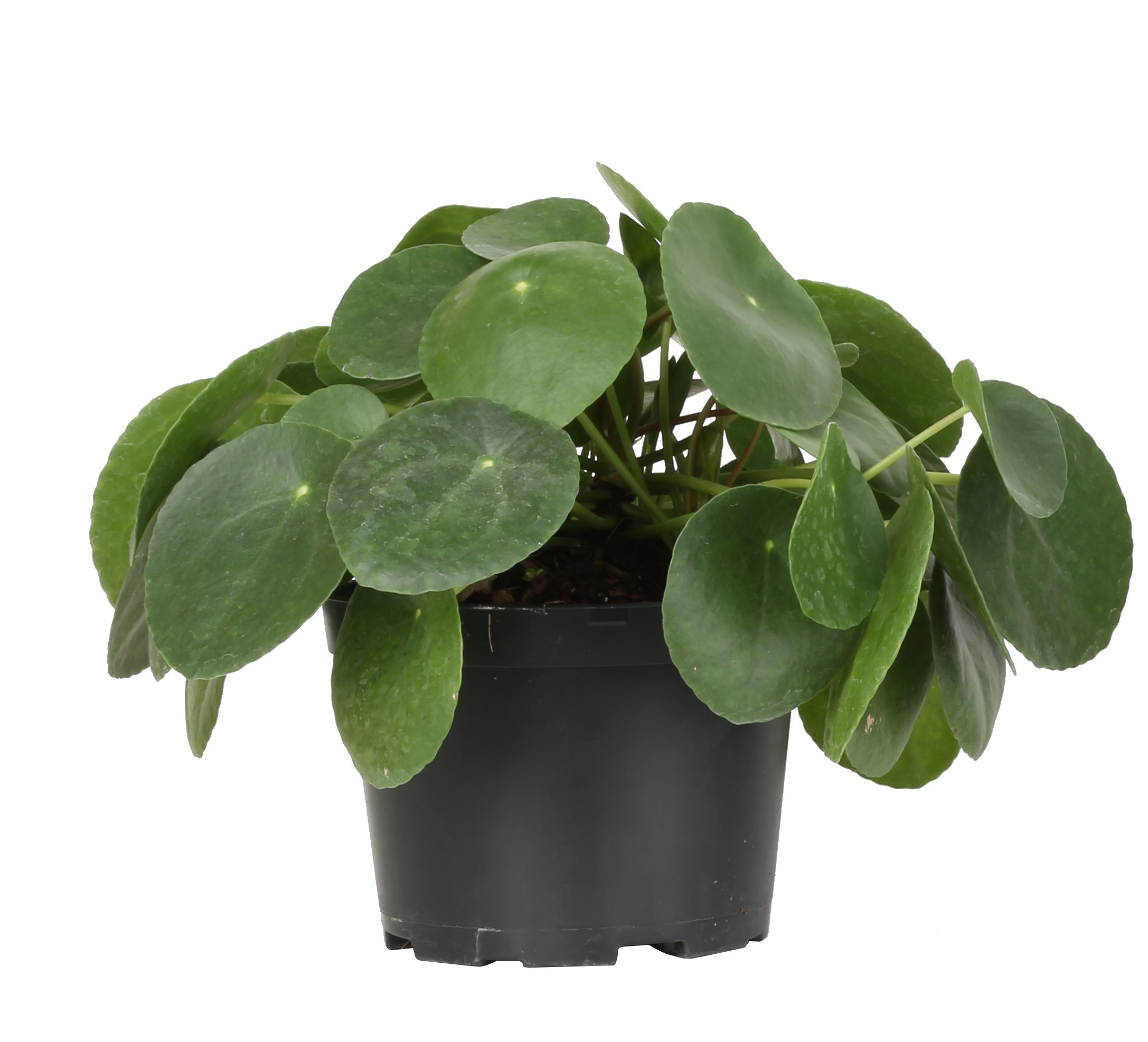 Costa Farms Live Indoor 14in Chinese Money Plant Grower Pot Walmart Com Walmart Com