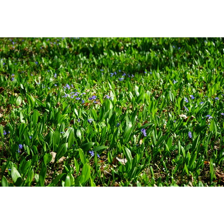 Peel-n-Stick Poster of Blue Star Blossom Garlic Leaves Bloom Scilla Poster 24x16 Adhesive Sticker Poster Print