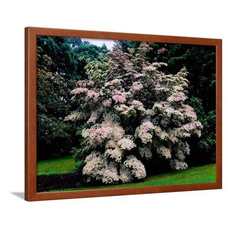 - Kousa Dogwood trees (Cornus kousa) in a garden, United States National Arboretum, Washington DC... Framed Print Wall Art