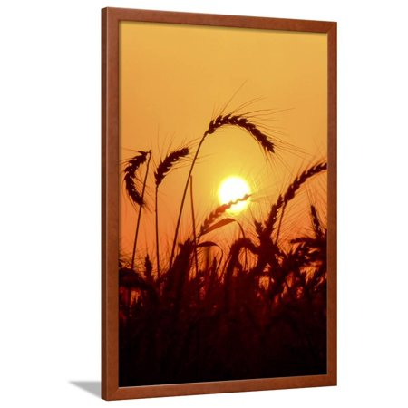 Wheat Plants in Silhouette Framed Print Wall Art By Richard T. Nowitz (Wheat Plant Framed)