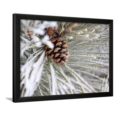 Frosty Norway Pine Cone Framed Print Wall Art By Penny Meyers ...