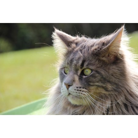 Canvas Print Pet Cat Longhair Cat Main Coon Cat Face Maine Coon Stretched Canvas 10 x (Maine Coon Cats For Sale In Maine)