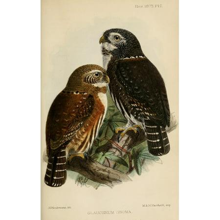 Ibis 1886 Northern Pygmy Owl Poster Print By  John G Keulemans