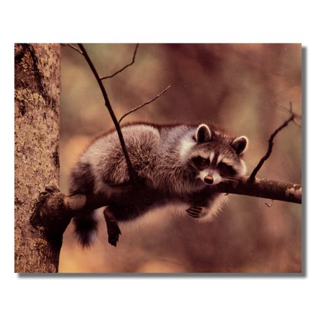 Raccoon Stretched out on Tree Branch Limb Photo Wall Picture 8x10 Art Print