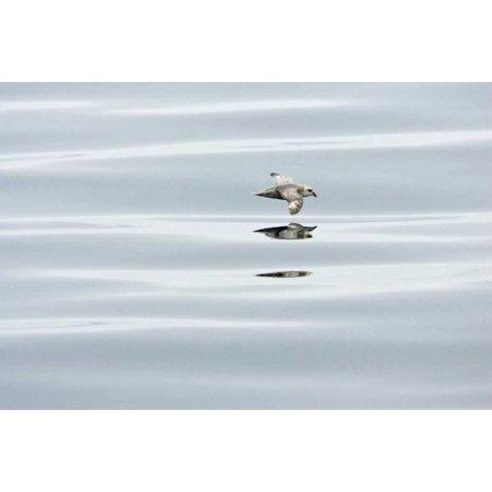 Northern Fulmar flying low over water Spitsbergen Norway Poster Print by Konrad (Flying Over Water)