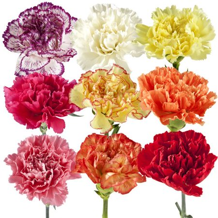 Carnation, eFlowy Fresh Cut Flowers: Wholesale Carnations, + additional colors and sizes (Seasonal Cut Flowers)