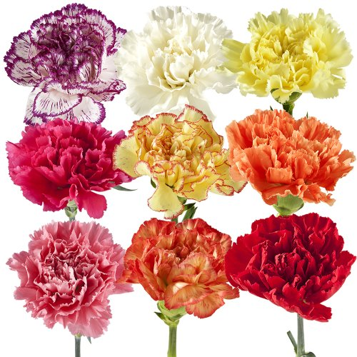 Carnation, eFlowy Fresh Cut Flowers: Wholesale Carnations, + additional colors and sizes