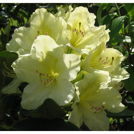 - Capistrano Rhododendron - The Best Hardy Yellow Color - 2.5