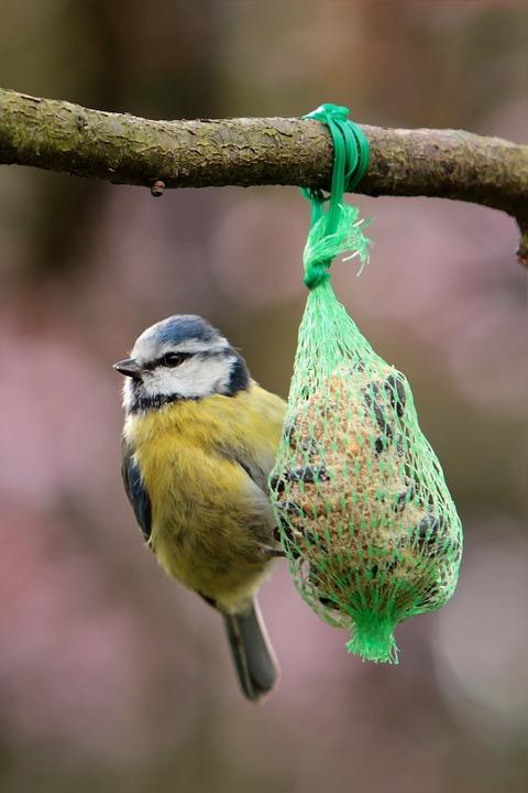 peel n stick poster of bird fat balls blue tit garden. Black Bedroom Furniture Sets. Home Design Ideas