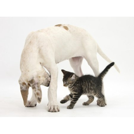 Tabby Kitten, Fosset, 10 Weeks, with Great Dane Puppy, Tia, 14 Weeks Print Wall Art By Mark