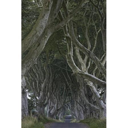 Halloween In Northern Ireland (The Dark Hedges, Ballymoney, County Antrim, Ulster, Northern Ireland, United Kingdom, Europe Print Wall Art By Carsten)