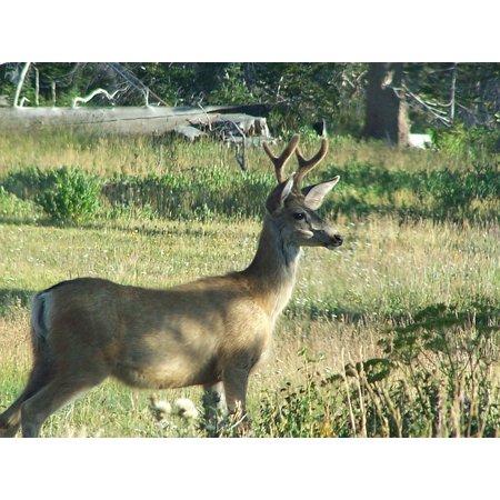 Deer Ears (LAMINATED POSTER Wildlife Ears Mule Deer Grass Nature Buck Poster Print 24 x)