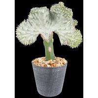 Delray Plants Coral Cactus (Euphorbia lactea) Crested Euphorbia Easy to Grow Live House Plant, 4-inch Decorator Pot