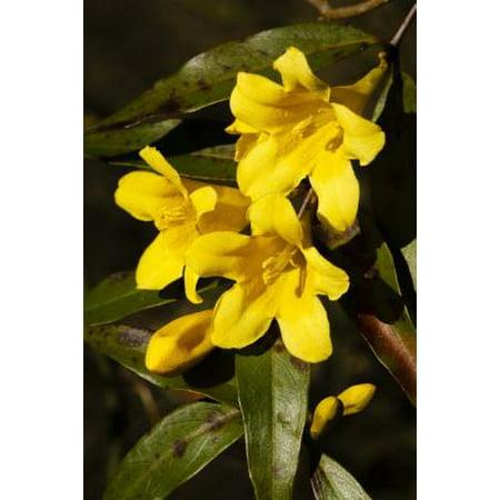 South Carolina State Flower Yellow Jessamine Journal 150 Page