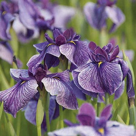 Bloomsz Marginal Bog Water Plant Iris Ensata Blue, Root / Flower Bulb