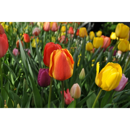 LAMINATED POSTER Flowers Tulip Flower Tulips Perennial Holland Poster Print 24 x 36 ()
