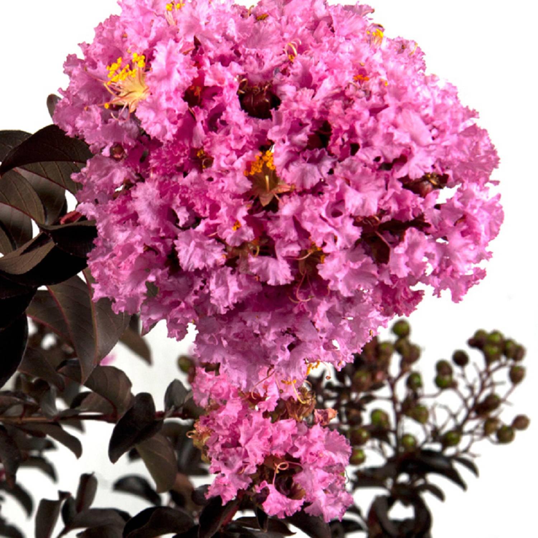 Delta Eclipse Crape Myrtle, Lavender Blooms, Live Plants - Walmart.com