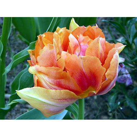 Canvas Print Orange Tulip Early Lily Tulip Double Tulip Flower Stretched Canvas 10 x 14