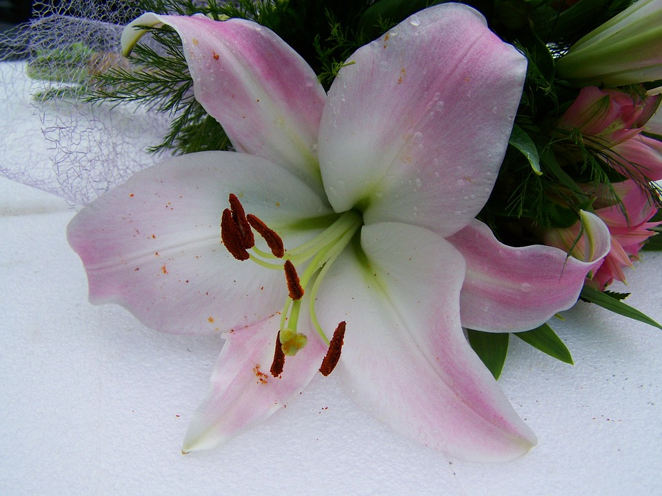 Peel N Stick Poster Of Pale Pink Lily Cut Flower Poster 24x16