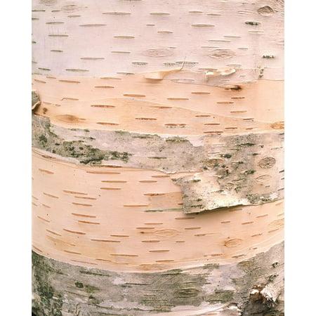 Birch Bark I Poster Print by William