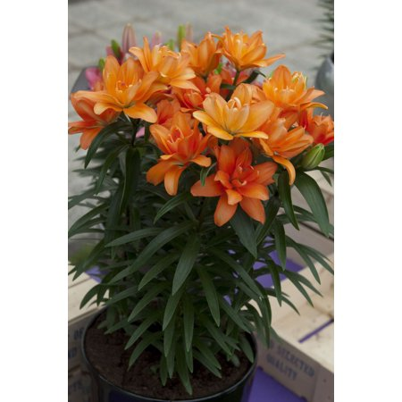 Image of 2.5qt Lily Asiatic Dbl You