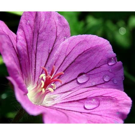 Tiny Monster Hardy Geranium - Vigor & Flower Power - Gallon Pot