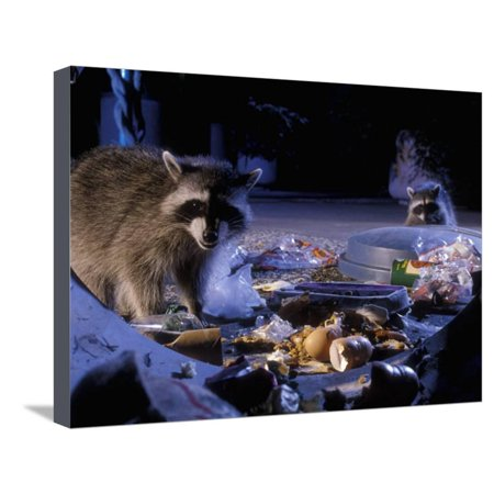 Raccoons (Procyon Lotor) Raiding an Urban Garbage Can in Portland, Oregon Stretched Canvas Print Wall Art By Michael Durham](Halloween Stores In Portland)