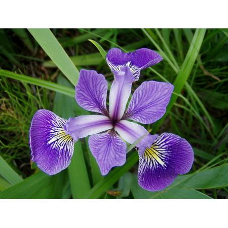 1g Iris