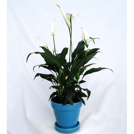 "Peace Lily Plant - Spathyphyllium - 4"" Glazed Ceramic Pot and Saucer"