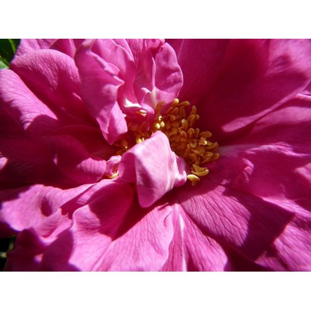 LAMINATED POSTER Blossom Flower Bloom Beautiful Pink Rose Bright Poster Print 24 x 36 ()