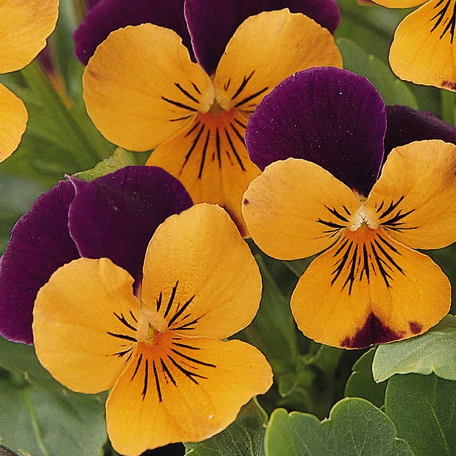 Viola Flower Garden Seeds - Sorbet F1 Series - Mix - 100 Seeds - Annual Flower Gardening Seeds