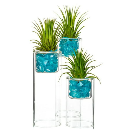 Tillandsia Air Plant with Glass Stand | Glass Votive Holder | Aqua Blue Pearlized Sea Chips | Air Plant Set for Display | Nautic (4, 6, 7 Inch Trio)
