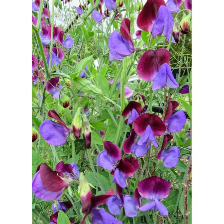English Pea - Canvas Print Climbing Sweet Flowers Garden English Pea Purple Stretched Canvas 10 x 14