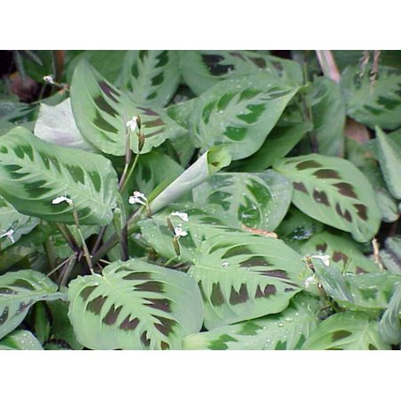 Hirt's Green Prayer Plant - Maranta - Easy to grow - 4