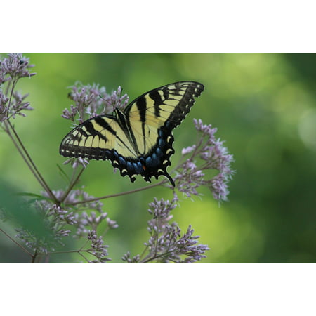 LAMINATED POSTER Monarch Nature Butterfly Wing Wildlife Poster Print 24 x 36 ()