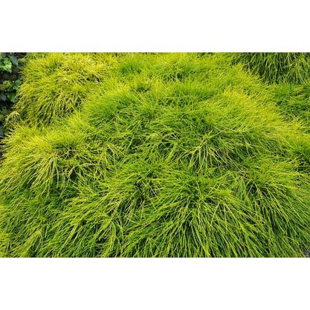 - Sungold Cypress Plant - Chamaecyparis - Evergreen Shrub - 4