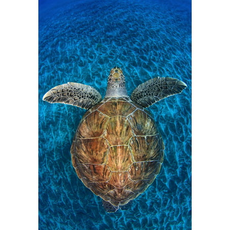 Green Turtle, (Chelonia Mydas), Swimming over Volcanic Sandy Bottom, Armenime Cove, Canary Islands Print Wall Art By Jordi - Volcanic Cone